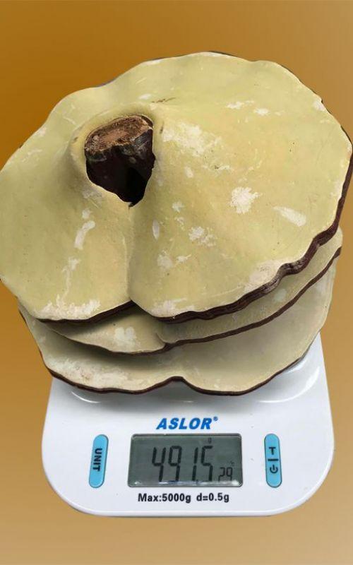Nấm linh chi 20-25 lá trên 1kg