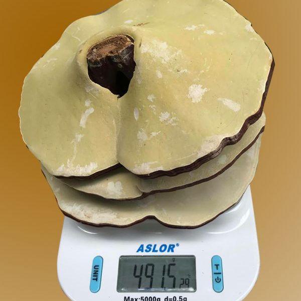 Nấm linh chi 4-5 lá trên 1kg