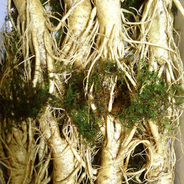 8 roots per kg type 1