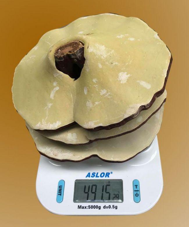 Nấm linh chi 10-12 lá trên 1kg