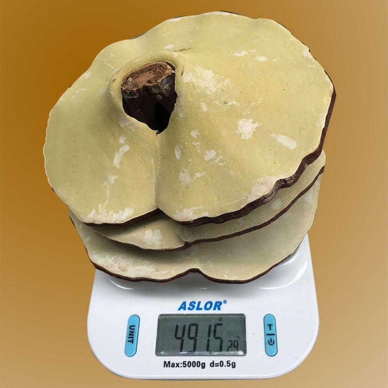 Nấm linh chi 6-7 lá trên 1kg